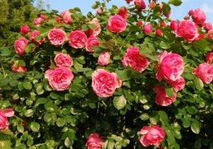 Afbeeldingsresultaat voor rozenmaand